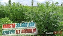 Kars'ta 28.600 Kök Kenevir Ele Geçirildi